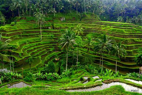 Campos de arroz de Tegalalang